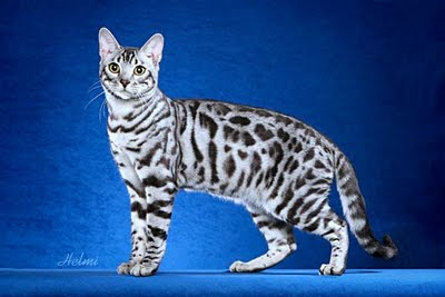 Snow Bengal showing physic